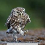 Little Owl Walking by Austin Thomas, Wigan10