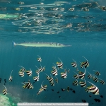 Needlefish Patrolling the Reef by Penny Piddock, Dorchester
