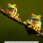 Red Eyed Green Tree Frogs by Robert Millin, Wigan10