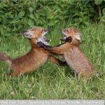 Red Fox Cubs Sparring by Michael Windle, Smethwick
