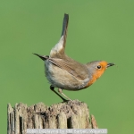 Robin Displaying by Phil Barber, Wigan10