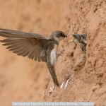 Sandmartin Feeding Young by Roy Rimmer, Wigan10