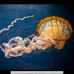 Sea Nettle Jellyfish by David Hodgson, Wisbech