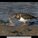 Turnstone with Crab by Ed Roper, Wigan10