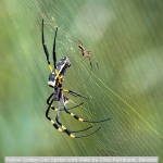 Yellow Golden Orb Spider with Male by Clive Rathband, Devizes