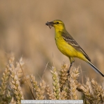 Yellow Wagtail by Roy Rimmer, Wigan10