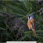 Bearded Reedling by Sue Richardson, Sheffield