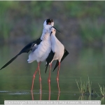 BlackWinged Stilts Embrace by Paul Keene, Smethwick