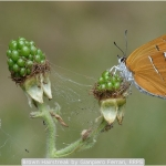 Brown Hairstreak by Gianpiero Ferrari, RRPS