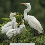 Egret Family by Julie Walker, Keswick