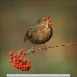 Female Blackbird Tossing Berry by John Barlow, Chorley