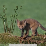 Fox Cub on Log by Mike Hudson, Evolve