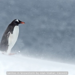Gentoo in Snowstorm by Alan Walker, Keswick