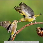 Greenfinches Fighting by Paul Keene, Smethwick