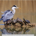 Grey Heron with Terrapins by Paul Keene, Smethwick
