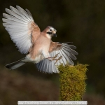 Jay Touching Down by John Barlow, Chorley