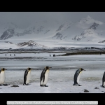 King Penguins in South Georgia by Steve Cushing, Poulton