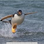 Leaping Gentoo by Dawn Osborne, Norfolk