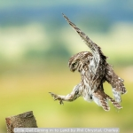 Little Owl Coming in to Land by Phil Chrystal, Chorley