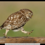 Little Owl Marching Forward by John Barlow, Chorley