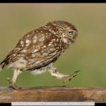 Little Owl Marching Forward by John Barlow, Chorley