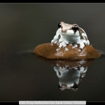 Milk Frog Reflection by Jane Lines, Chorley