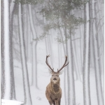 Red Stag in Snow Flurry by John Macfarlane, Keswick
