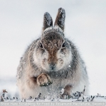 Snow Hare Scrabbling for Food by Rosamund Macfarlane, Keswick