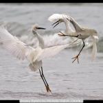 Snowy Egrets by Michelle Walsh, Chorley