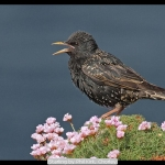 Starling by Phil Kirk, Chorley