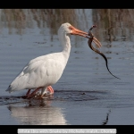 White Ibis with Snake by Michelle Walsh, Chorley