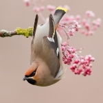 Winter Waxwing by Martin Jump, Preston
