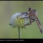 13880_Terry Wall_Robber Fly