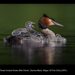 15367_Damian Black_Great Crested Grebe With Chicks
