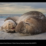 15398_Robert Harvey_Elephant Seal Embrace