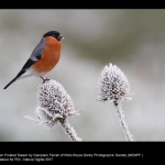 15628_Gianpiero Ferrari_Bullfinch on Frosted Teasel