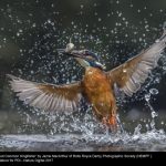 15629_Jamie MacArthur_Bursting out Common Kingfisher