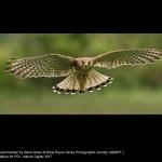 15634_Steve Shaw_Incoming wild Kestrel
