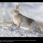15641_Gianpiero Ferrari_Mountain Hare in Habitat