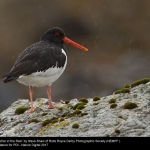 15642_Steve Shaw_Oystercatcher in the Rain