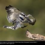15643_Jamie MacArthur_Pied Kingfisher landing