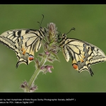 15646_Neil Humphries_Swallowtails