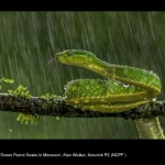 15734_Alan Walker_Green Parrot Snake in Monsoon