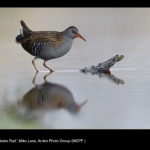 17187_Mike Lane_Water Rail