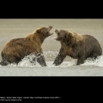 Brown Bear Fight by Gordon Rae, Dumfries