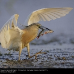 Squacco Heron with Catch by Tim Downton, Dorchester