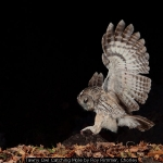 Tawny Owl Catching Mole by Roy Rimmer, Chorley