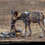 Wild Dog Pups Greeting by Eric Williams, Worcestershire
