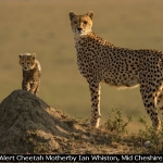 Alert Cheetah Motherby Ian Whiston, Mid Cheshire