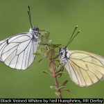 Black Veined Whites by Neil Humphries, RR Derby